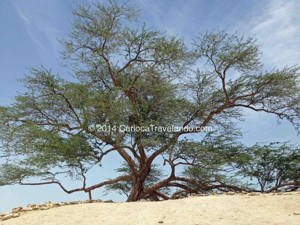 O mistério em torno de como a árvore se mantêm viva por tantos anos, a torna uma lenda viva.
